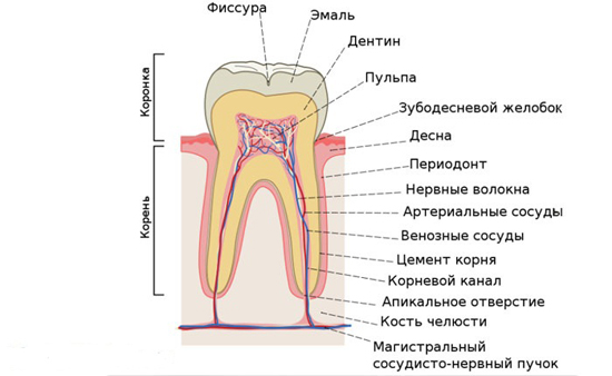 строение зуб