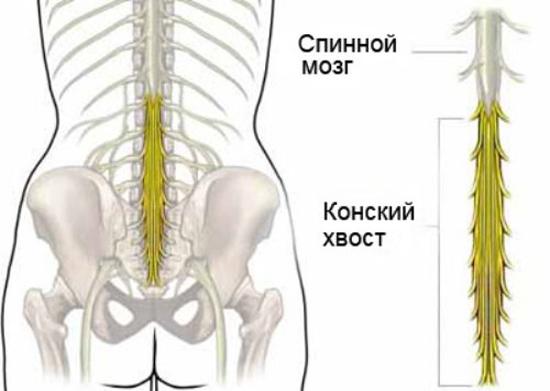 Окончание спинного моза имеет форму конский хвоста